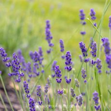 Fields of Lavender: Seafoam Lavender Garden in River John | Nova Scotia