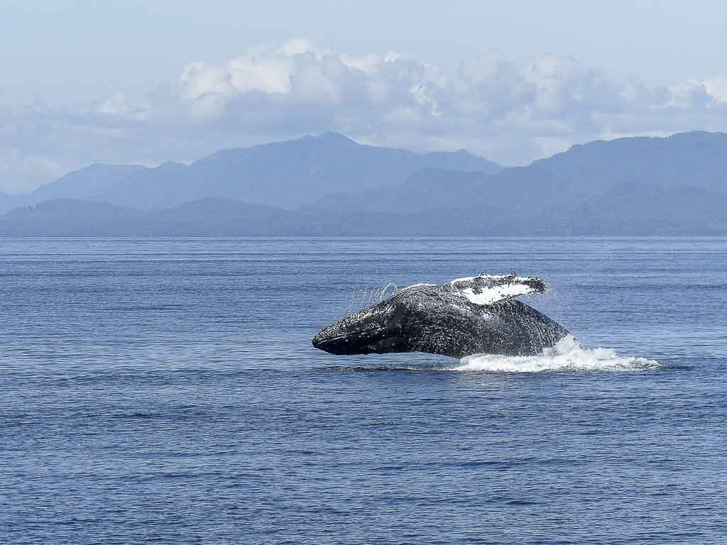 Wildlife vacation: A right whale breaches on Vancouver Island, Canada