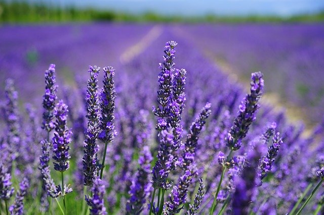 A field of lavender, a drought-tolerant perennial