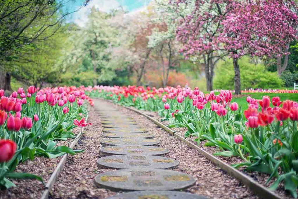A walk-way bordered by bright pink tulips in bloom