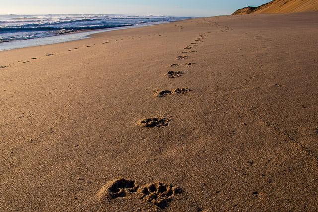 Paw prints on Lecount Hollow Beach in Wellfleet Massachusetts (Cape Cod)