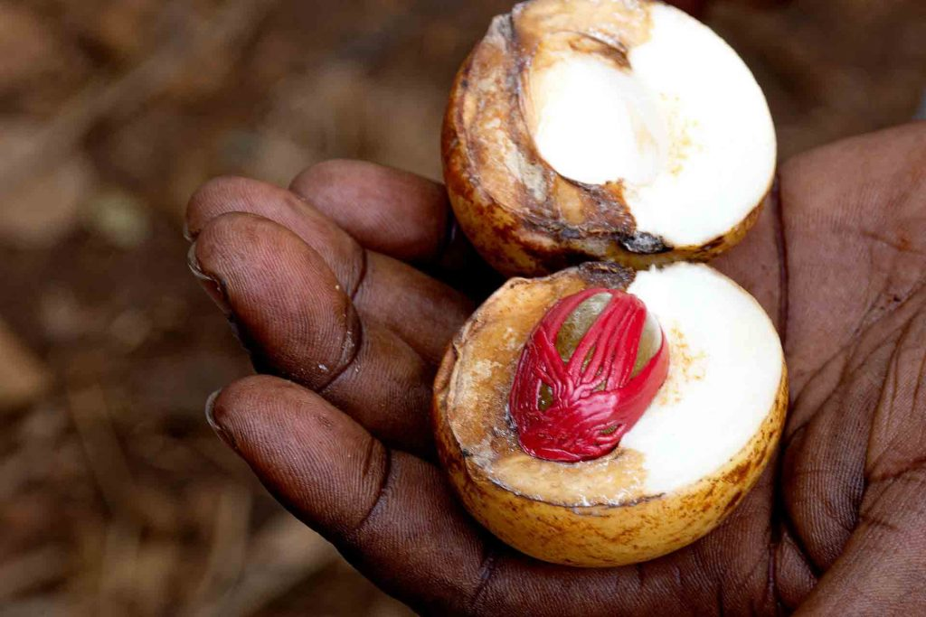 A brown hand hold a nutmeg fruit, split in half and revealing the red fiber surrounding the dark nut. (Banda Neira Island, Indonesia)